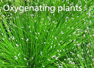 Oxygenating plants
