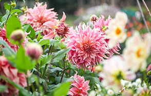 Crocus Garden School - Dahlias