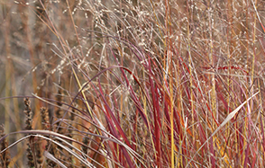 Discover ornamental grasses