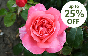 Roses back in stock