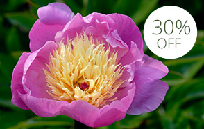 Herbaceous peonies for late spring colour