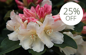 Late spring blooming rhododendrons