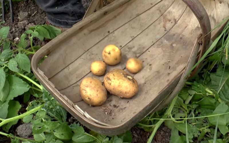 How To: Harvest Potatoes