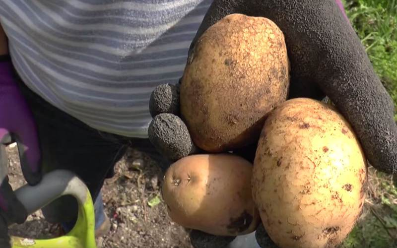 How To: Lift & store maincrop potatoes