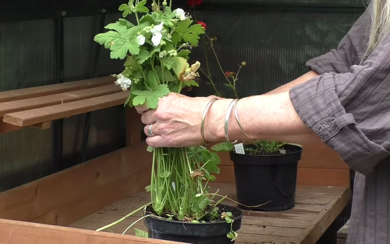 How to make perennials flower for longer
