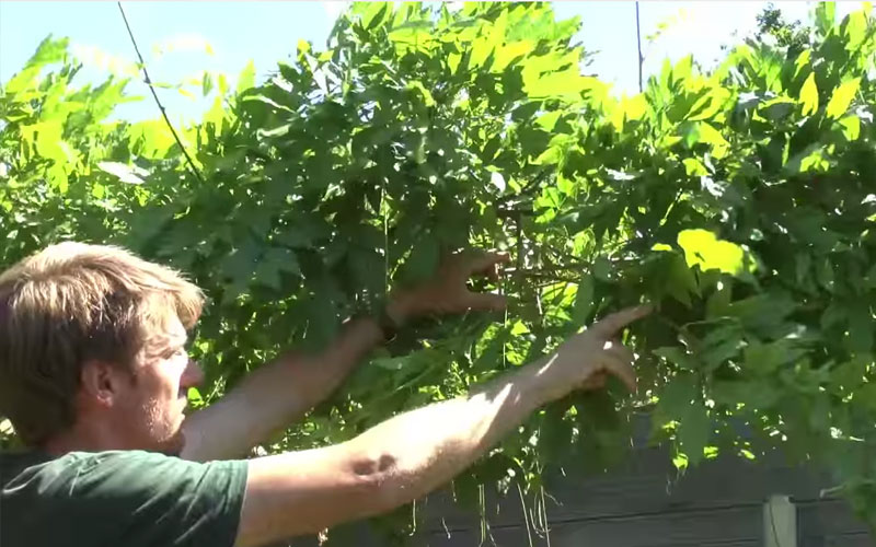 How to summer-prune wisteria