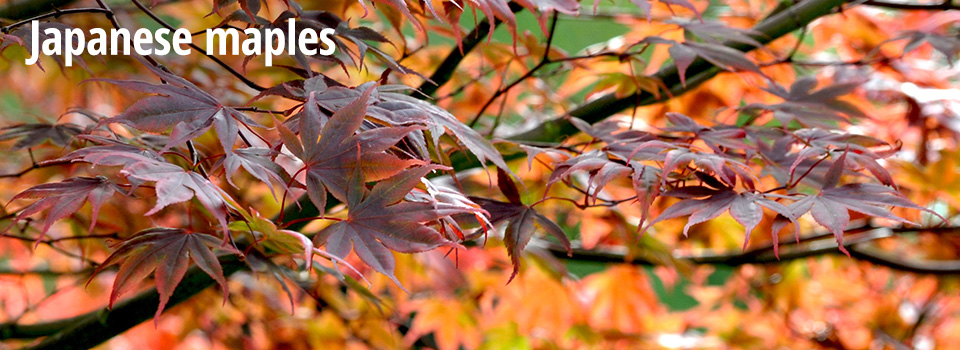 Hero - Japanese maples