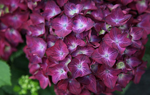 Hydrangea macrophylla 'Hot Red Violet'