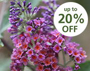 Buddlejas - up to 20% off