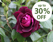 Roses - up to 30% off