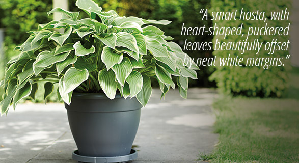 Hosta & pot combination