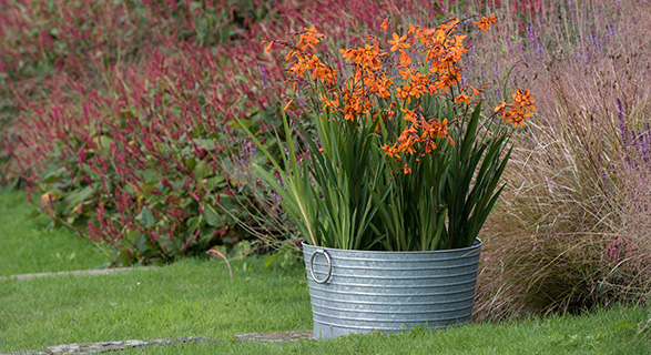 Crocosmia and ribbed planter