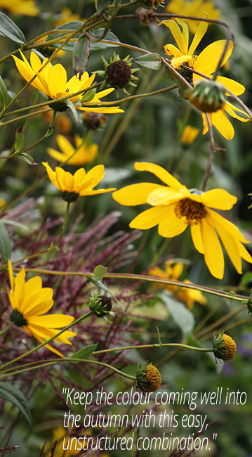 Heliopsis & Miscanthus combination
