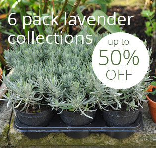 6 pack lavender collections