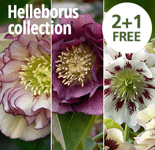 Helleborus collection