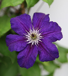 Clematis 'Happy Birthday'