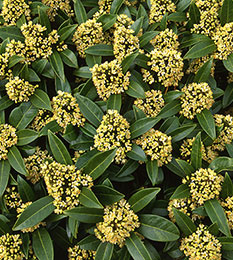 Skimmia × confusa 'Kew Green' (male)