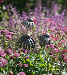 Echinacea plant stake