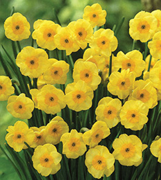 Award-winning compact daffodil collection