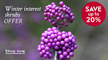 Winter interest shrubs