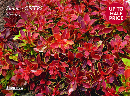 Summer OFFERS Shrubs