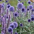 agastache and echinops plant combination