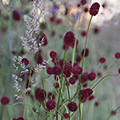 sanguisorba and calamagrotis plant combination