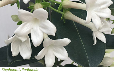 Gardening features timely gardening advice from crocus scent is always desirable and stephanotis floribunda the madagascar jasmine provides lush green foliage and highly scented white flowers on a neat plant mightylinksfo