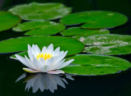 picture of waterlily