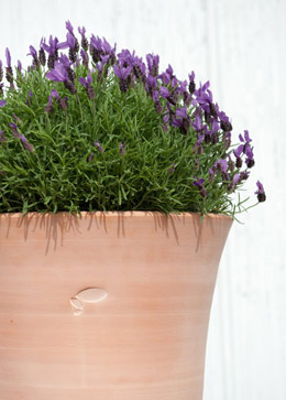 Lavender & pot combination