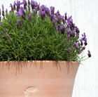 Lavender bell pot combination