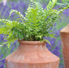 Polystichum aculeatum and small oil planter combination