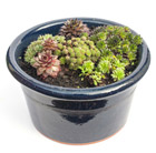 Set of 6 sempervivum and planter combination