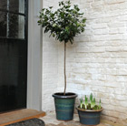 Viburnum tinus and glazed pot combination