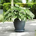 Hosta and Torino Campana pot combination