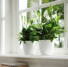 Spathiphyllum and white pot cover combination
