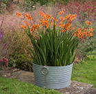 Crocosmia and ribbed planter combination