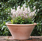 Tiarella and lucca pot combination