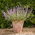 Nepeta and terracotta pot combination