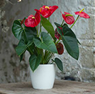 Anthurium Red Champion and pot cover combination