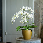 Phalaenopsis orchid and gold pot cover combination