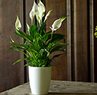 Spathiphyllum and white high pot cover combination