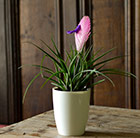 Tillandsia cyanea and white high pot cover combination