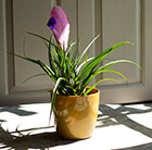 Tillandsia cyanea and gold pot cover combination