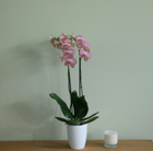 Phalaenopsis Ravello and orchid pot cover combination