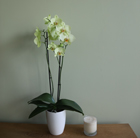 Phalaenopsis Alassio and orchid pot cover combination
