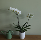 Phalaenopsis grandiflorum White and orchid pot cover combination