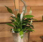 Spathiphyllum and etched aluminium planter