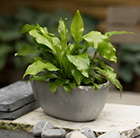 Asplenium nidus and rough cast aluminium bowl