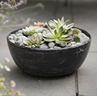 6 Echeveria starter plants and a rough cast charcoal black aluminium bowl